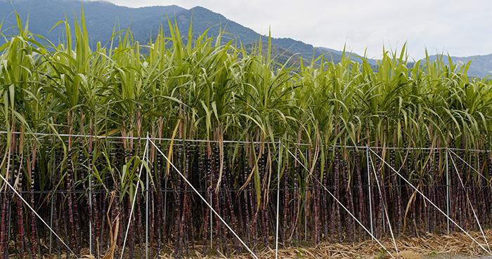 Avanços na produção de cana-de-açúcar faz do Brasil líder no setor